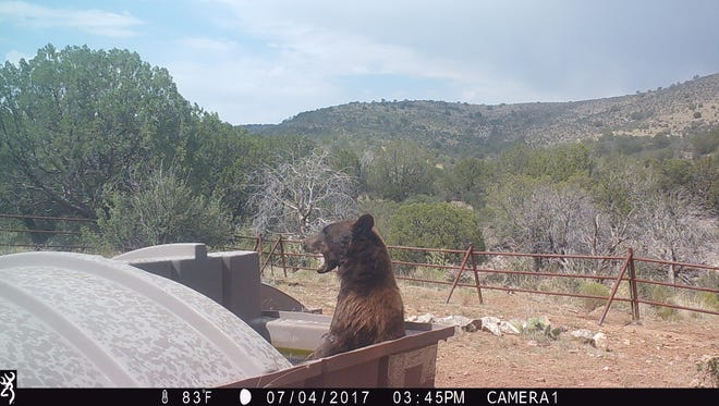 A black bear stops for a drink at one of the wildlife projects.Trail cameras installed at projects like wildlife drinkers document and monitor wildlife use and movement. Occasionally, cougar, coatimundi or oryx will also show up in or around them.