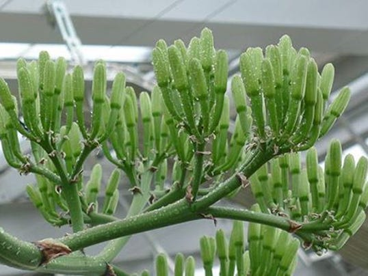 635903437850309332-Agave-Plant-buds-not-flowers.jpg