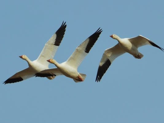 1-LDN-DW-021217-Snow-geese.jpg