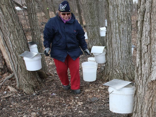 Anita Pirc, a Schmitz family cousin, collects maple sap from trees tapped on one of four woodlots that four generations of the Schmitz family collect to cook into maple syrup. The diameter of a maple tree determines how many taps can be attached.
