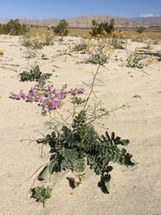 The invasive Sahara Mustard plant can be seen in the
