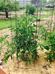 A tomato cage can prevent the plant from getting overgrown.