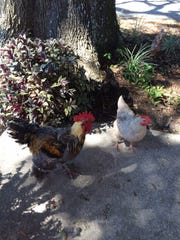 Chickens stroll the grounds at the Chicken Coop Café
