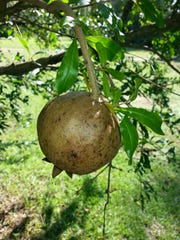 Pomegranates can handle drought well, but irrigate regularly during fruit set.