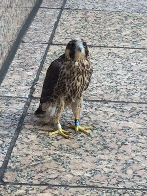 JC the young peregrine falcon waits for human rescuers who found him near the AT&T building Downtown.