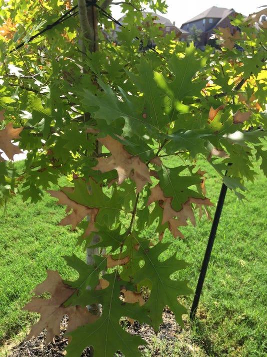 Red-oak-leaf-burn.JPG