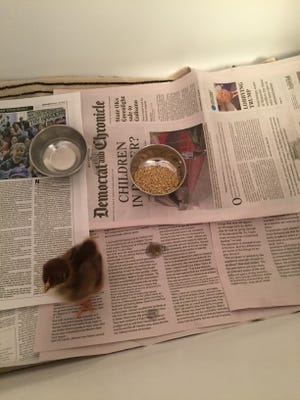 The columnist used old papers to build a chicken habitat in her bathtub.