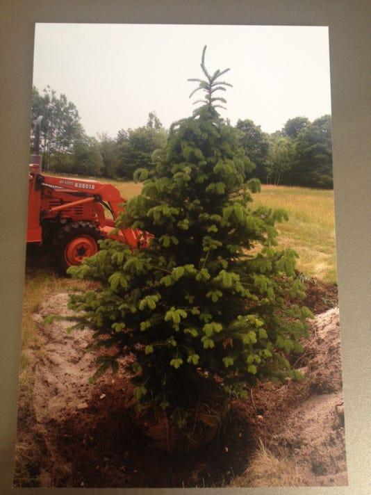 Stolen balsam fir tree