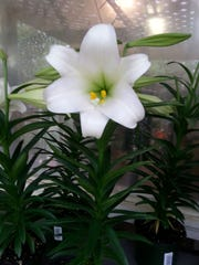 After they are done blooming, you can plant Easter lilies in your yard to bloom again next year.