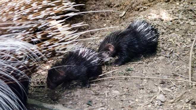 Baby porcupines make an appearance at Mesker Park Zoo.