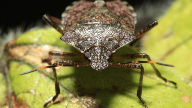 This April 14, 2011 file photo shows a brown marmorated stink bug at a Penn State research station in Biglerville, Pa.