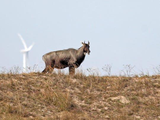 This mature nilgai bull was feeding along the Kenedy