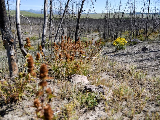 In a July 22, 2018 photo, mint grows at the base of a charred group of lodgepole pines that burned in the 2016 Maple fire in Yellowstone National Park. The Maple fire began and burned in its entirety in the 1988 fire scar. (Rachel Leathe/Bozeman Daily Chronicle via AP)