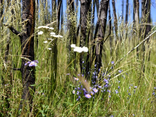 In a July 22, 2018 photo, wildflowers and grass grow thick beneath a charred group of lodgepole pines that burned in the 2016 Maple fire in Yellowstone National Park. The Maple fire began and burned in its entirety in the 1988 fire scar. (Rachel Leathe/Bozeman Daily Chronicle via AP)