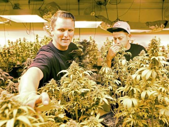Brandon Schuyler, left, and Juan Hernandez groom marijuana plants being grown at Organic Solutions of the Desert dispensary in Palm Springs, Tuesday, July 1, 2014.