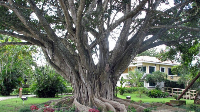 In Puerto Rico, weeping figs soared to majestic proportions, humidity coaxing threadlike, aerial roots to drip from the branches and take root in the ground.