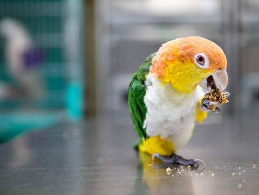 A White Bellied Caique at Avian and Exotic Animal Clinic Friday, July 25, 2014.  Abba was rescued and repaired and now a pet at the clinic.