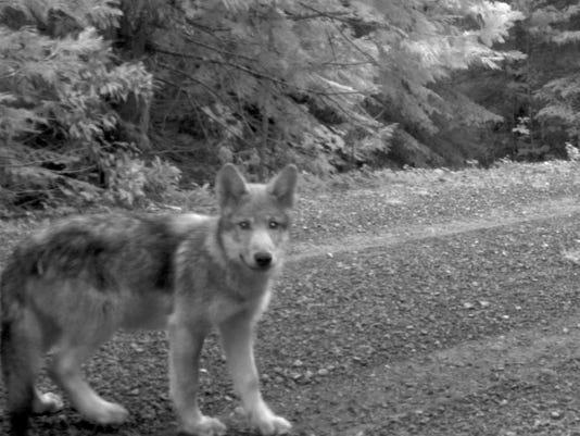 Wandering Wolf Pups_Davi