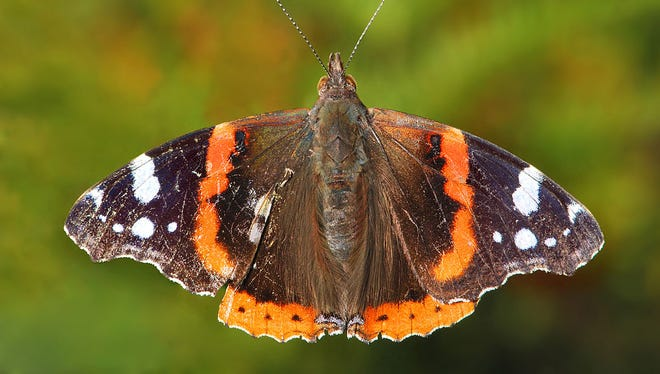 Red Admiral butterflies are often spotted in early spring. They may overwinter nearby as adults, or they may migrate back from their winter home in southern Texas.