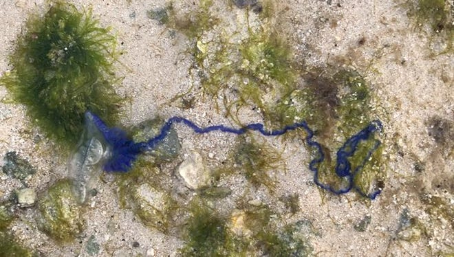 Hundreds, if not thousands of man-of-war hydrozoans washed up on the beach in Ipan, Talofofo, on the morning of Tuesday, Jan. 9, 2018, says Jeff Pleadwell of Jeff's Pirate's Cove. It's man-of-war hydrozoans and jellyfish season on Guam, according to the Department of Agriculture, which warned that they can sting even if they're washed up and dead on the beach.