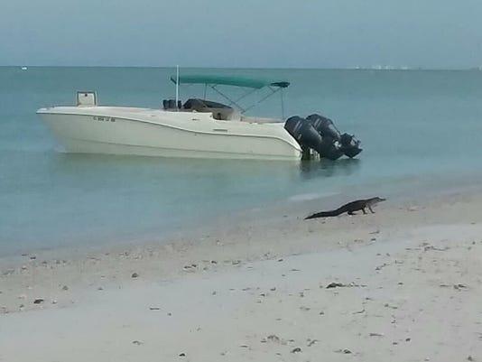 GATOR ON BEACH 01