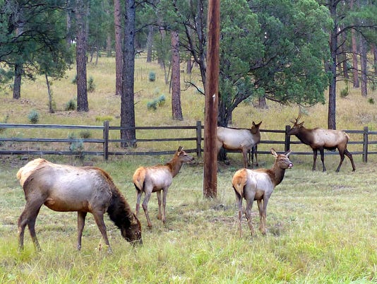 elk herd on Hull Road