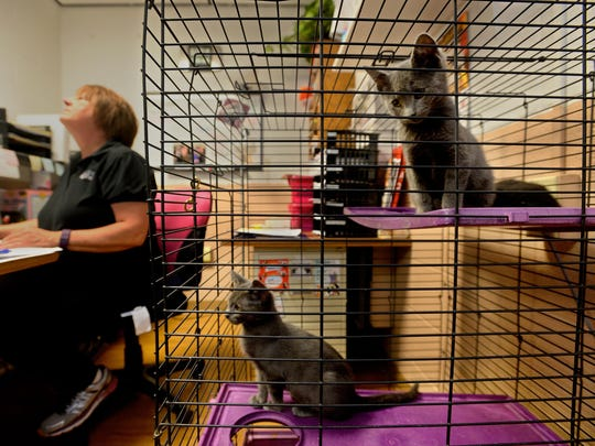 The Great Falls Animal Shelter currently is housing 150 cats and kittens, which is more than double it's capacity of 65 cats. There are so many cats at the shelter that it's run out of room in the designated feline kennels and are keeping cats in the shelter's lobby and office areas.
