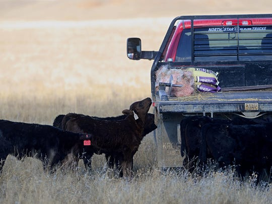 Calves inspect a pickup truck south of Big Sandy in 2017. Ranchers have had to feed cattle a lot more this winter and hay crops are behind as spring has been slow coming this year.