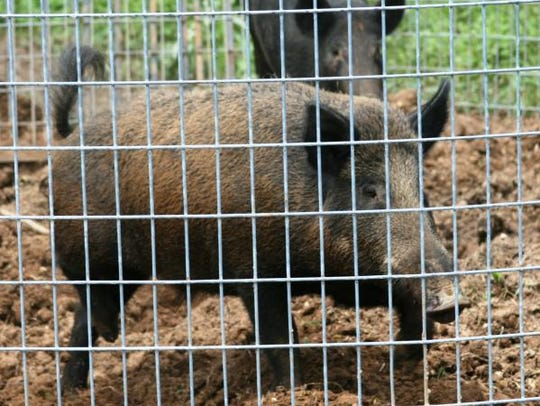 Feral hogs (shown here in a trap) damage wildlife habitats,