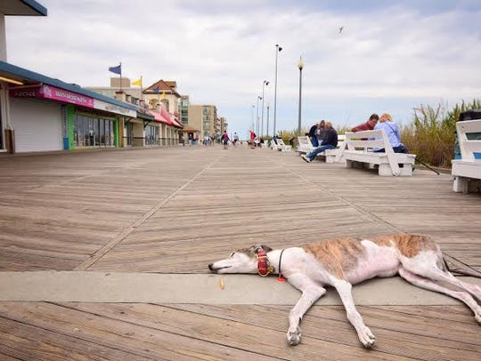 A greyhound relaxes on the boardwalk in Rehoboth Beach.