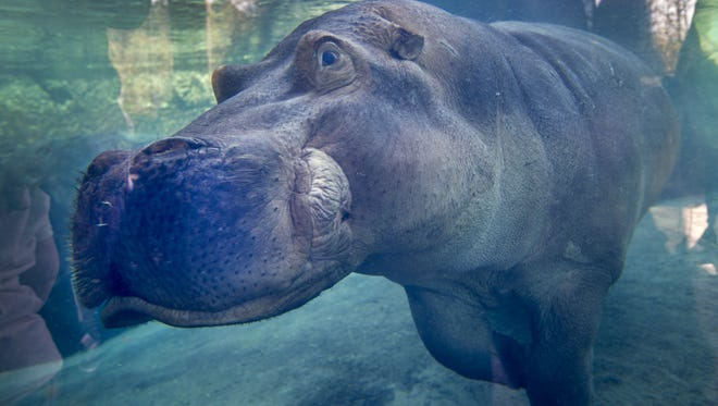 Henry the hippo, aka Fiona's father, remains under the weather at the Cincinnati Zoo.