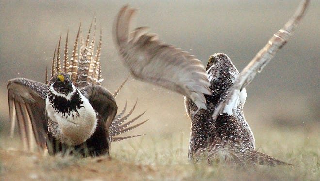 FILE - In this May 9, 2008, file photo, shows a male sage grouse fighting for the attention of female sage grouse southwest of Rawlins, Wyo. The Obama Administration has reached an agreement that will encourage Oregon ranchers to protect sage grouse, in hopes of preventing an endangered species listing. Interior Secretary Sally Jewell and Gov. Kate Brown are expected to be in Bend, Oregon, on Friday afternoon, March 27, 2015 to announce the agreements covering 5,500 square miles of private land in central and southeastern Oregon. (AP Photo/Rawlins Daily Times, Jerret Raffety, File) NO SALES