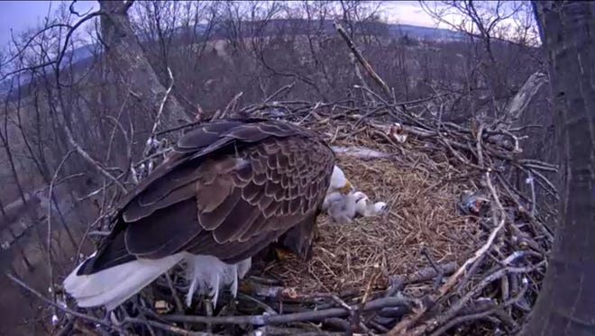 Live-stream footage of the eagle feeding the two babies.