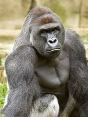 Harambe, a 17-year-old western lowland gorilla, was