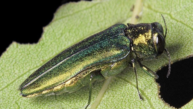 The emerald ash borer is spreading in Virginia