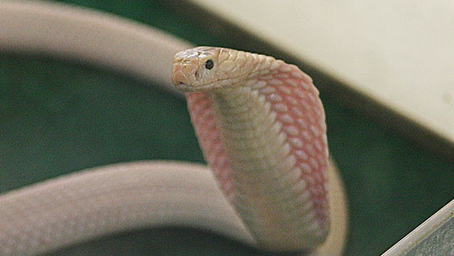 Lucy is a leucistic cobra which means she's missing some pigment but is not an albino