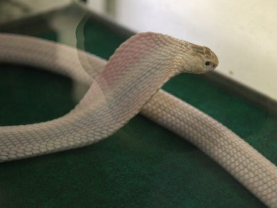 A cobra's hood is made up of neck muscles and ribs which can flatten out