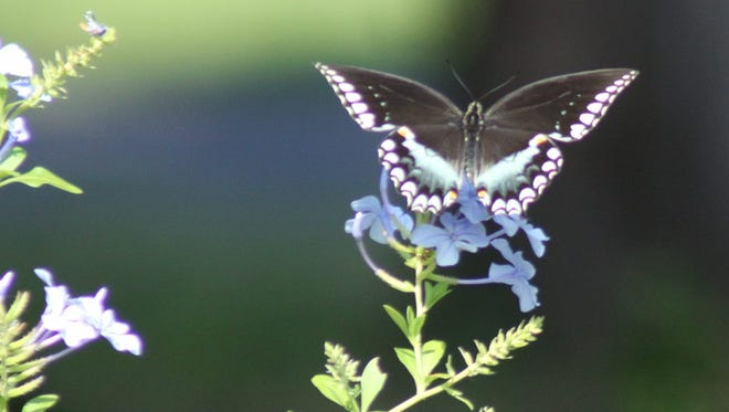A butterfly graces the front yard of David Jackson.