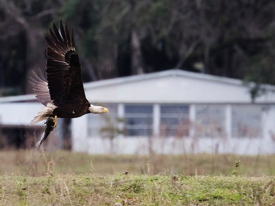 A bald eagle carries off a meal on the south end of Lake Kissimmee in early February.