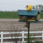 Squirrel raiding the bird feeder near Brandon.