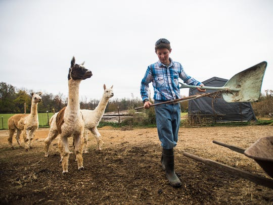 Jacob Stoner, 13, cleans up after the 14 alpacas that