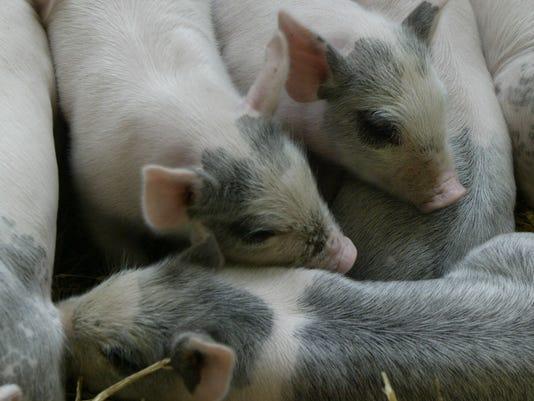 636276827449711350-pigs.jpg