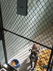 Boxer mix Tootsie, who's already been adopted, came