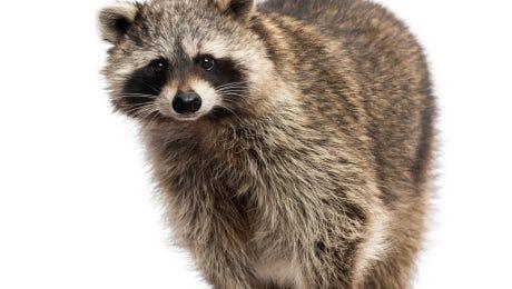A rabid raccoon was found in Magnolia.