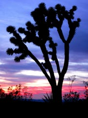 A Joshua tree stands in the high Mojave Desert.