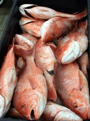 Red snapper caught from the Gulf of Mexico