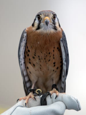 Bob, an American kestral, is among the bird that have lived at the Ojai Raptor Center. An open house is being held on Sunday, where visitors can get a rare peek at the facility that is normally closed to the public.