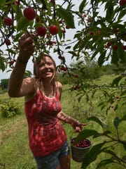 Alex Tuell of Green Bay picks tart cherries last year at Paradise Farms Orchards, 2565 County C, Brussels.
