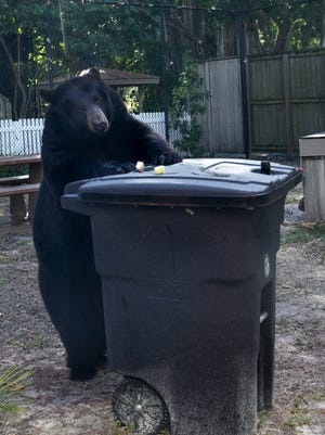 Toby, a 435-pound black bear at the Naples Zoo, investigates a bear-proof garbage bin.