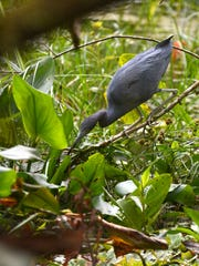 """A yellow crowned night heron hunts its prey. An """"early bird"""" birdwatching walk is just one of many ways to experience the natural beauty of the Corkscrew Swamp Sanctuary."""
